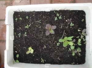 planteles que nos han brotado de semillas del huerto del año pasado